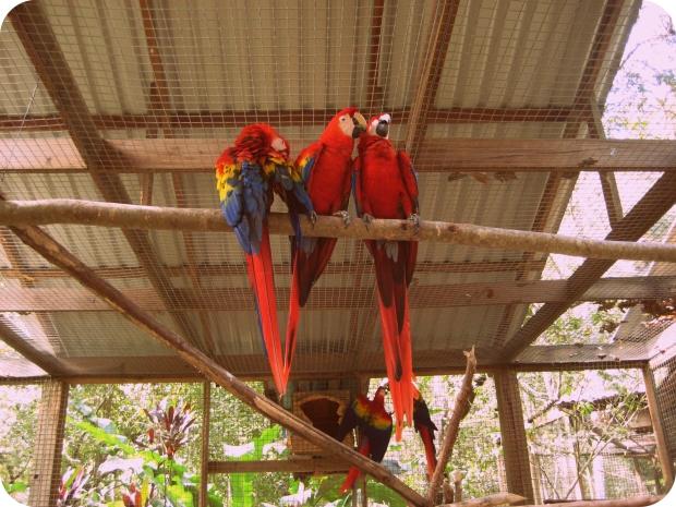ara_macao_-macaw_mountain_bird_park_honduras-8a