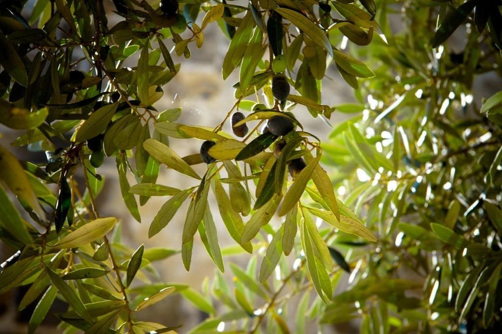 olives, tree, olive tree